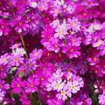 ガーデン用品屋さんの花図鑑 プリムラ・マラコイデス
