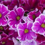 ガーデン用品屋さんの花図鑑 プリムラ・オブコニカ