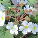 ガーデン用品屋さんの花図鑑 プリムラ・シネンシス