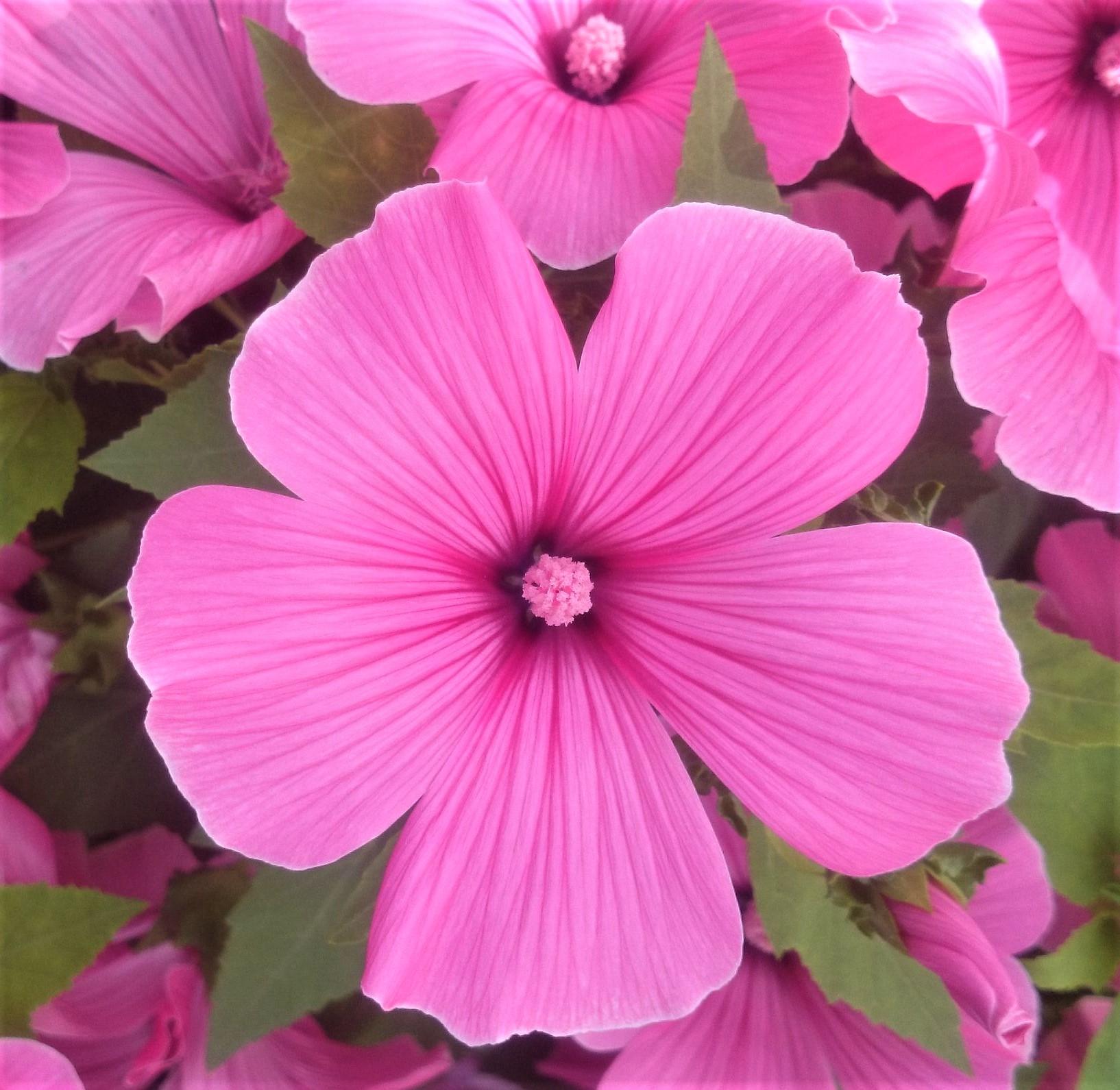 ガーデン用品屋さんの花図鑑 ラバテラ
