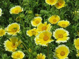 ガーデン用品屋さんの花図鑑 ライアエレガンス