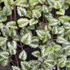 ガーデン用品屋さんの花図鑑 ラミウム