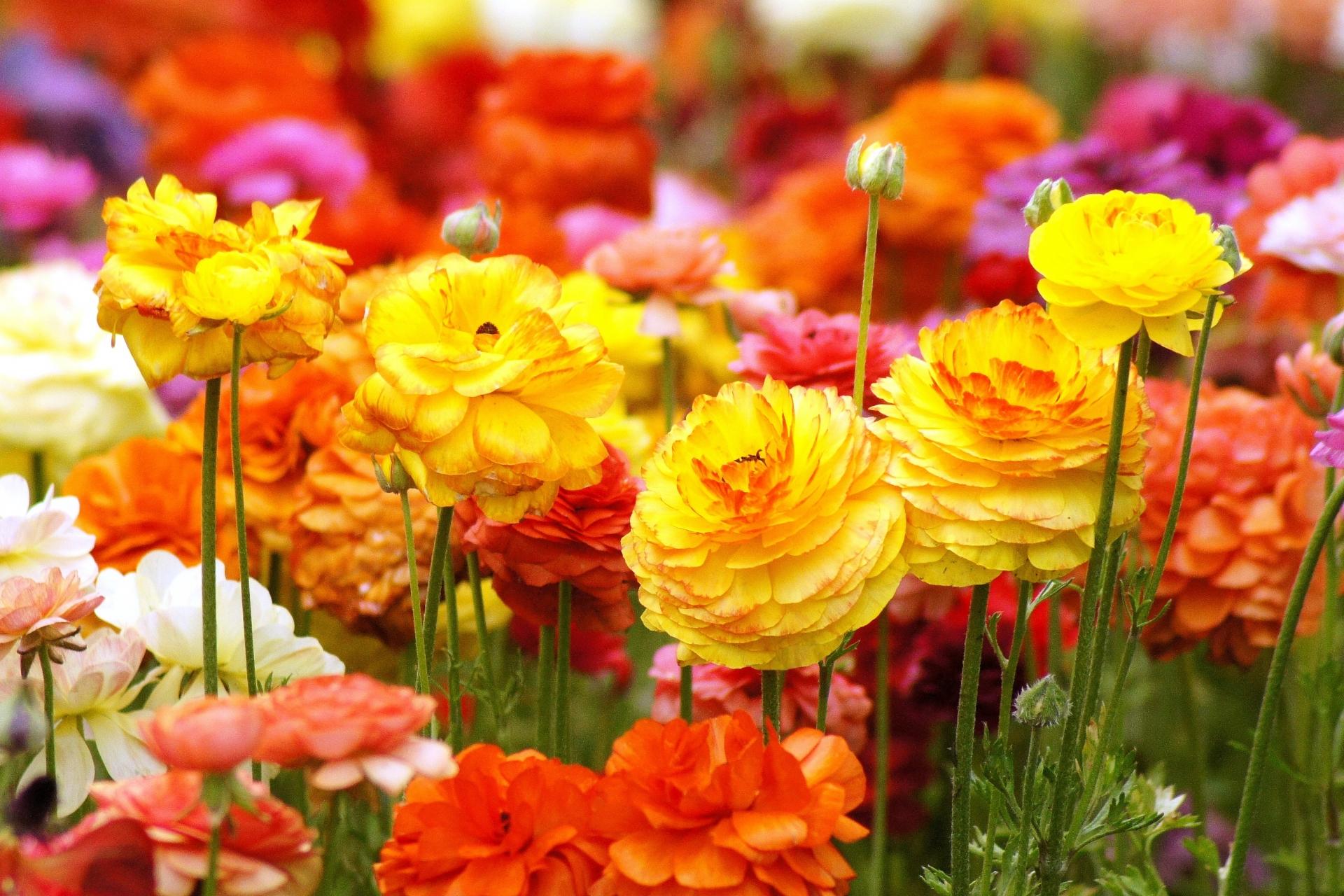 ガーデン用品屋さんの花図鑑 ラナンキュラス
