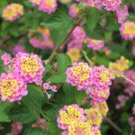 ガーデン用品屋さんの花図鑑 ランタナ