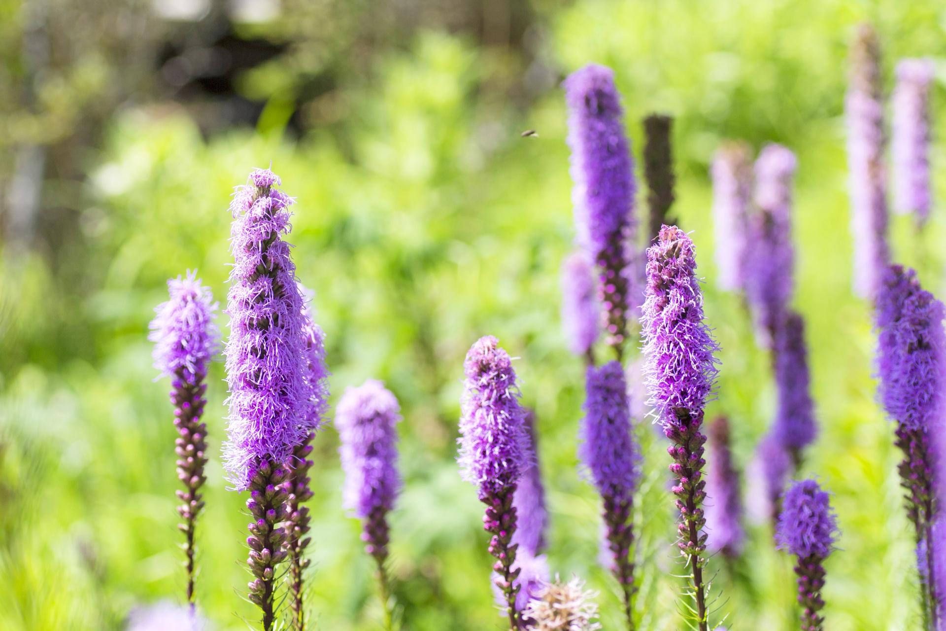 ガーデン用品屋さんの花図鑑 リアトリス