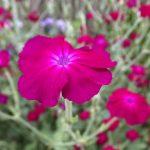 ガーデン用品屋さんの花図鑑 リクニス・フロスククリ