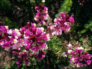 ガーデン用品屋さんの花図鑑 リナリア
