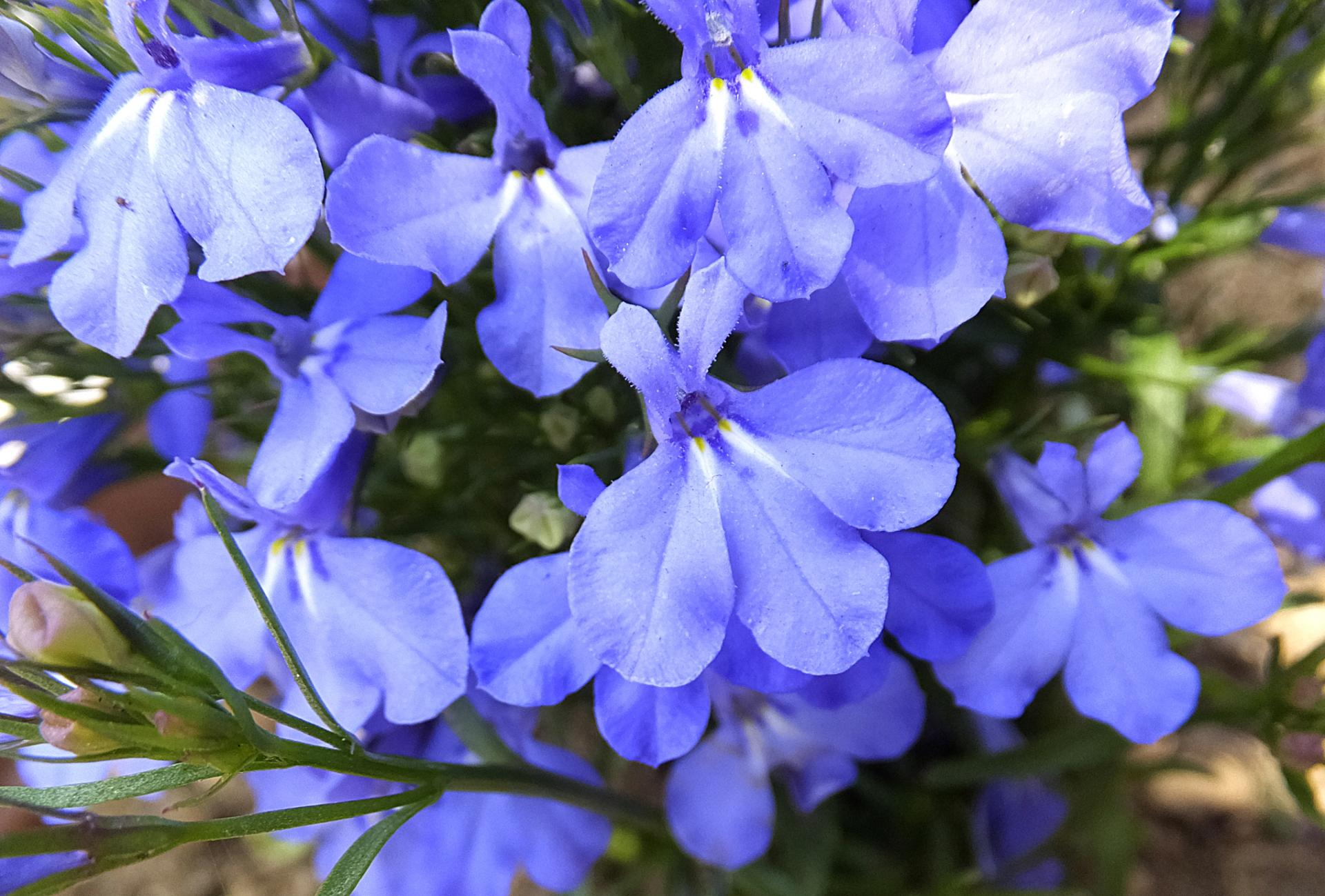 ガーデン用品屋さんの花図鑑 ロベリア