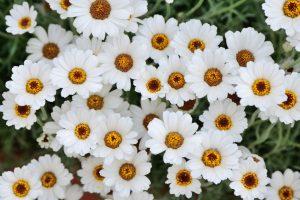 ガーデン用品屋さんの花図鑑 ローダンセマム