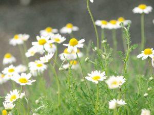 ガーデン用品屋さんの花図鑑 ローマンカモミール