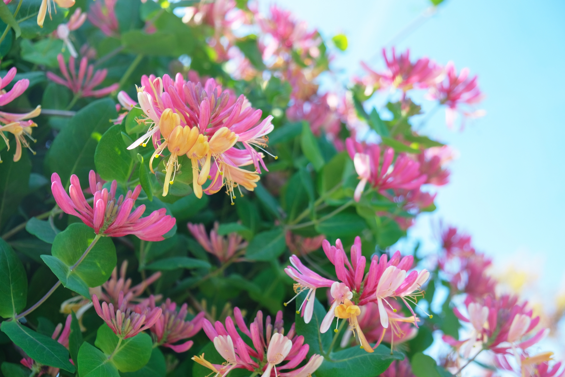ガーデン用品屋さんの花図鑑 ロニセラ