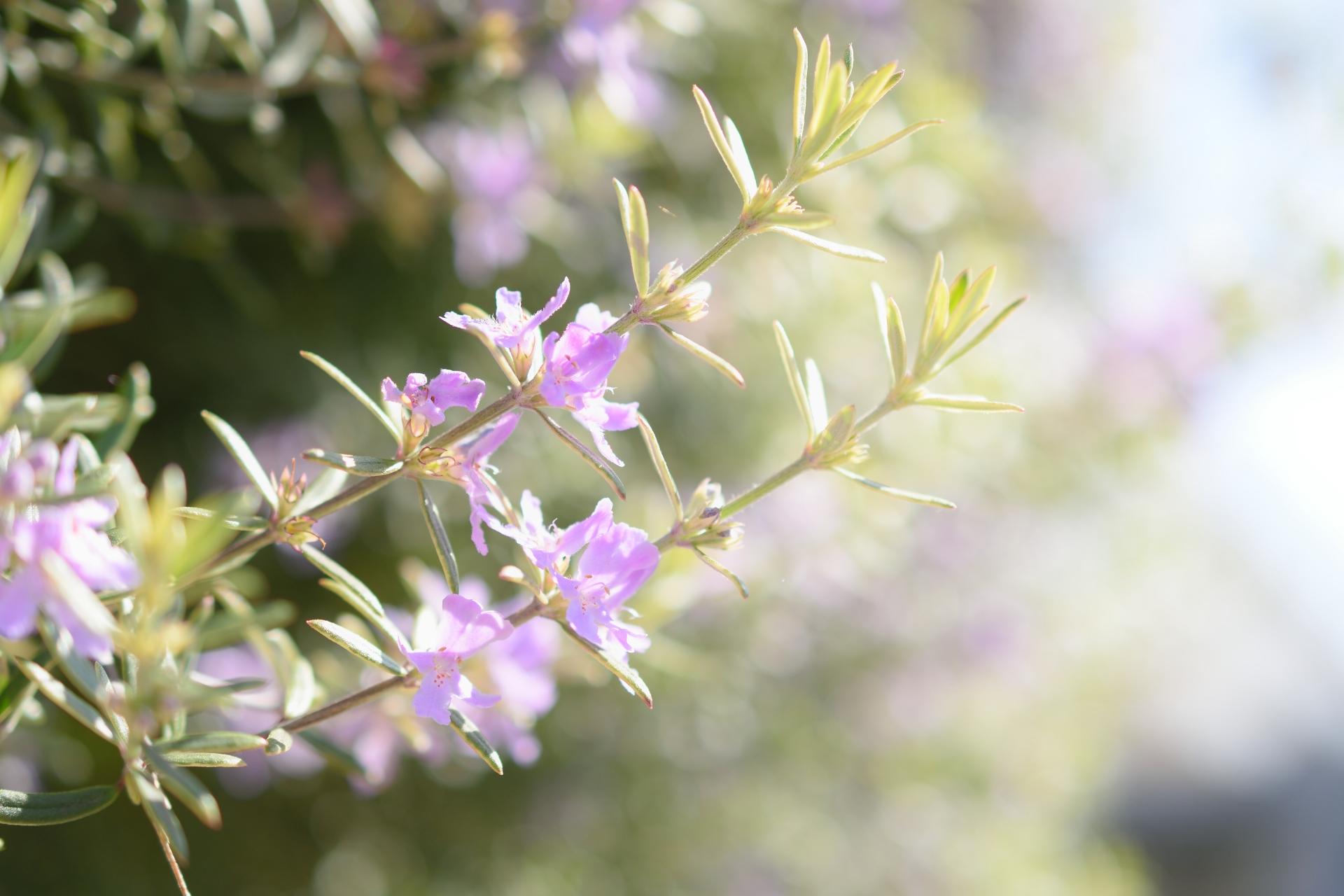 ガーデン用品屋さんの花図鑑 ローズマリー