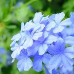 ガーデン用品屋さんの花図鑑 ルリマツリ