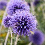 ガーデン用品屋さんの花図鑑 ルリタマアザミ