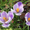 ガーデン用品屋さんの花図鑑 サフラン