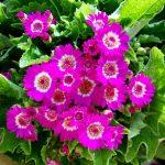 ガーデン用品屋さんの花図鑑 サイネリア