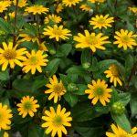 ガーデン用品屋さんの花図鑑 サンビタリア