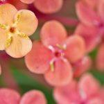 ガーデン用品屋さんの花図鑑 サンタンカ