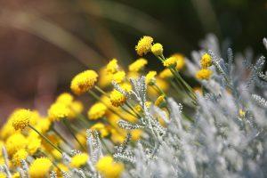 ガーデン用品屋さんの花図鑑 サントリナ
