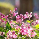 ガーデン用品屋さんの花図鑑 サルビア・インボルクラータ