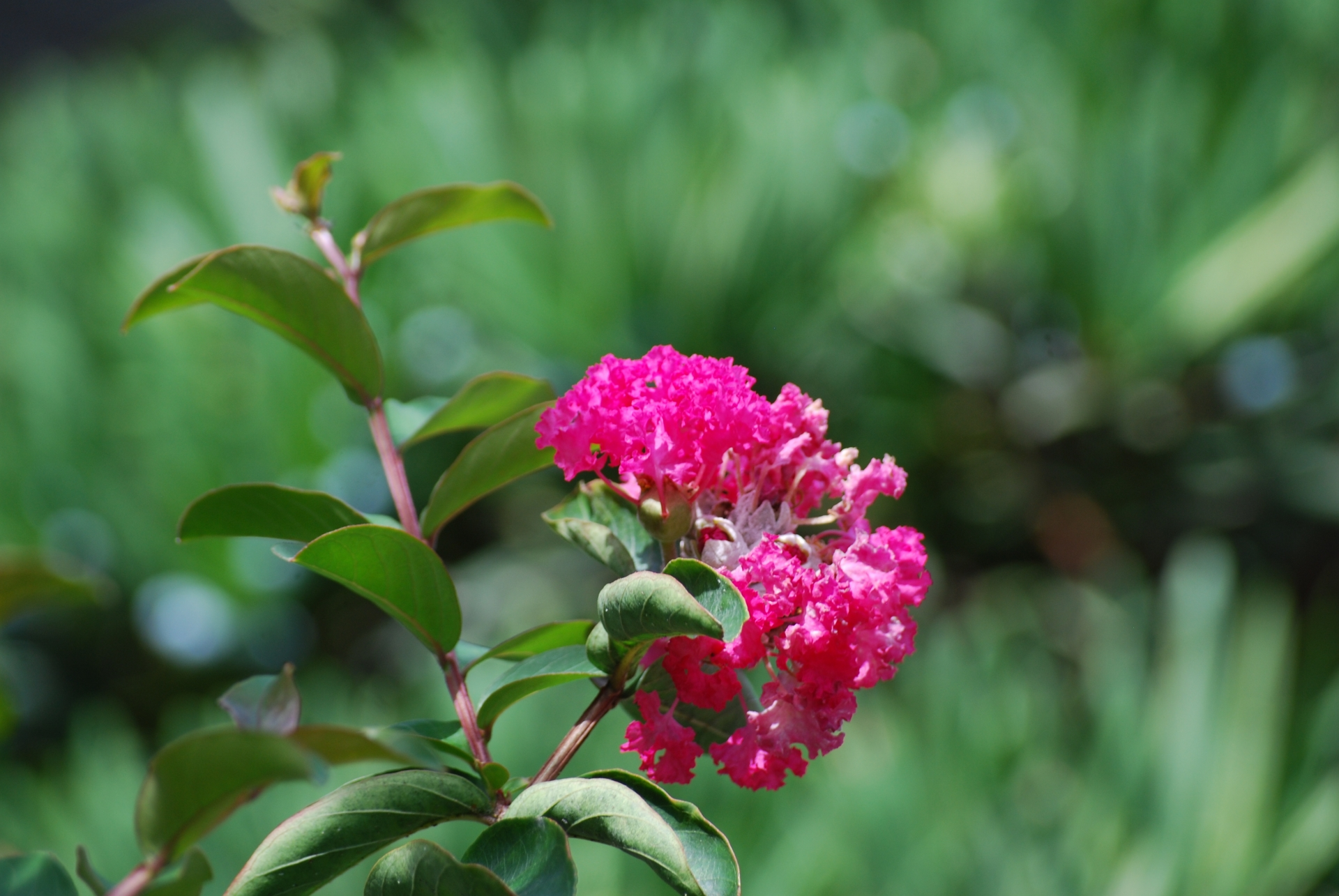 ガーデン用品屋さんの花図鑑 サルスベリ