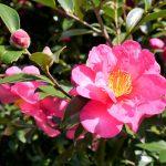 ガーデン用品屋さんの花図鑑 サザンカ