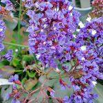 ガーデン用品屋さんの花図鑑 セアノサス
