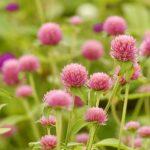 ガーデン用品屋さんの花図鑑 センニチコウ