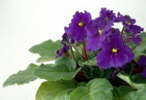 ガーデン用品屋さんの花図鑑 セントポーリア