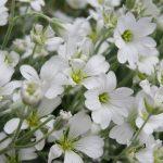ガーデン用品屋さんの花図鑑 セラスチューム