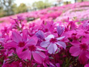 ガーデン用品屋さんの花図鑑 シバザクラ