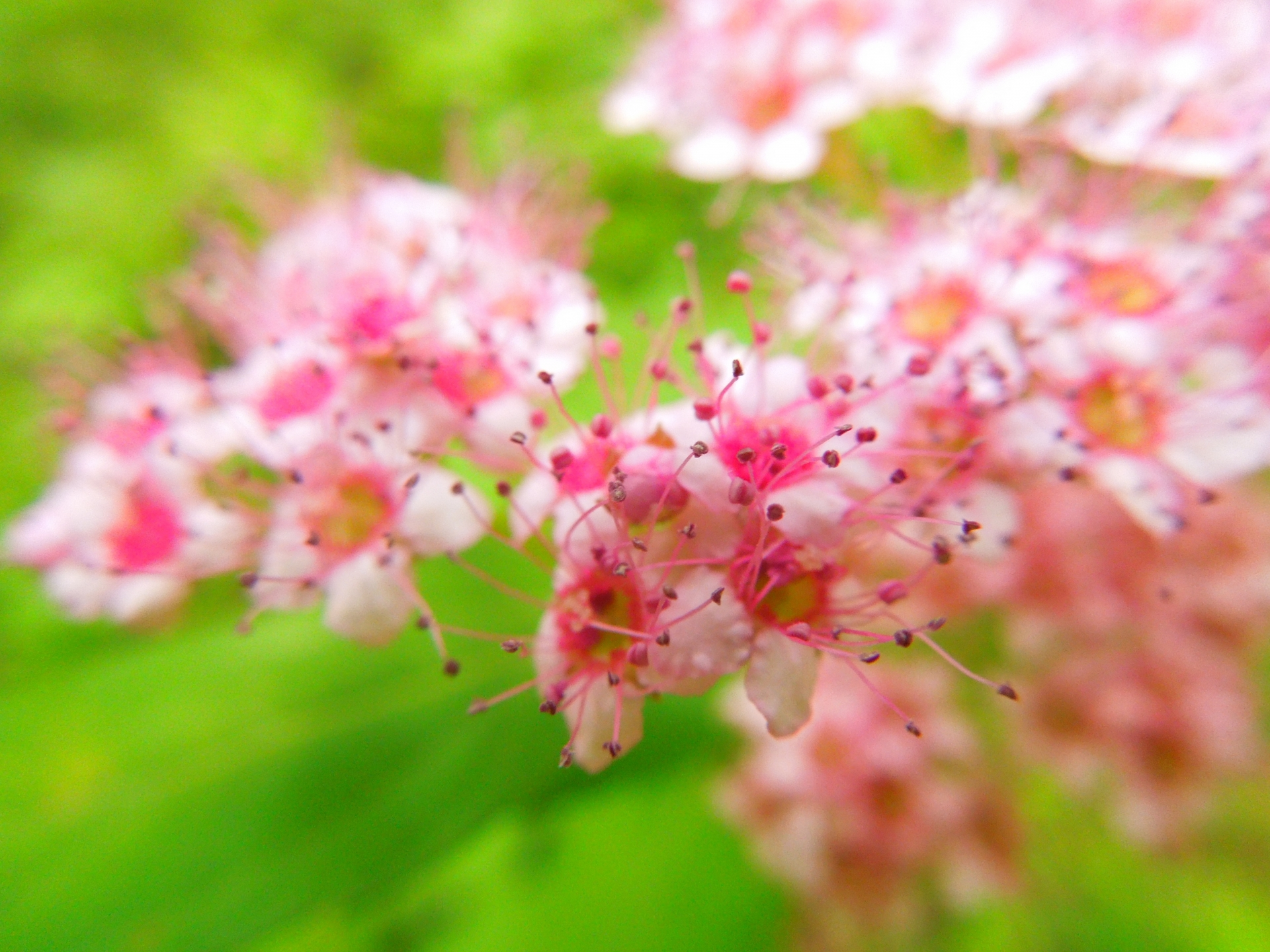 ガーデン用品屋さんの花図鑑 シモツケ