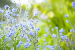 ガーデン用品屋さんの花図鑑 シノグノッサム