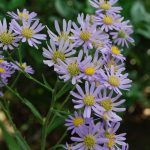 ガーデン用品屋さんの花図鑑 シオン