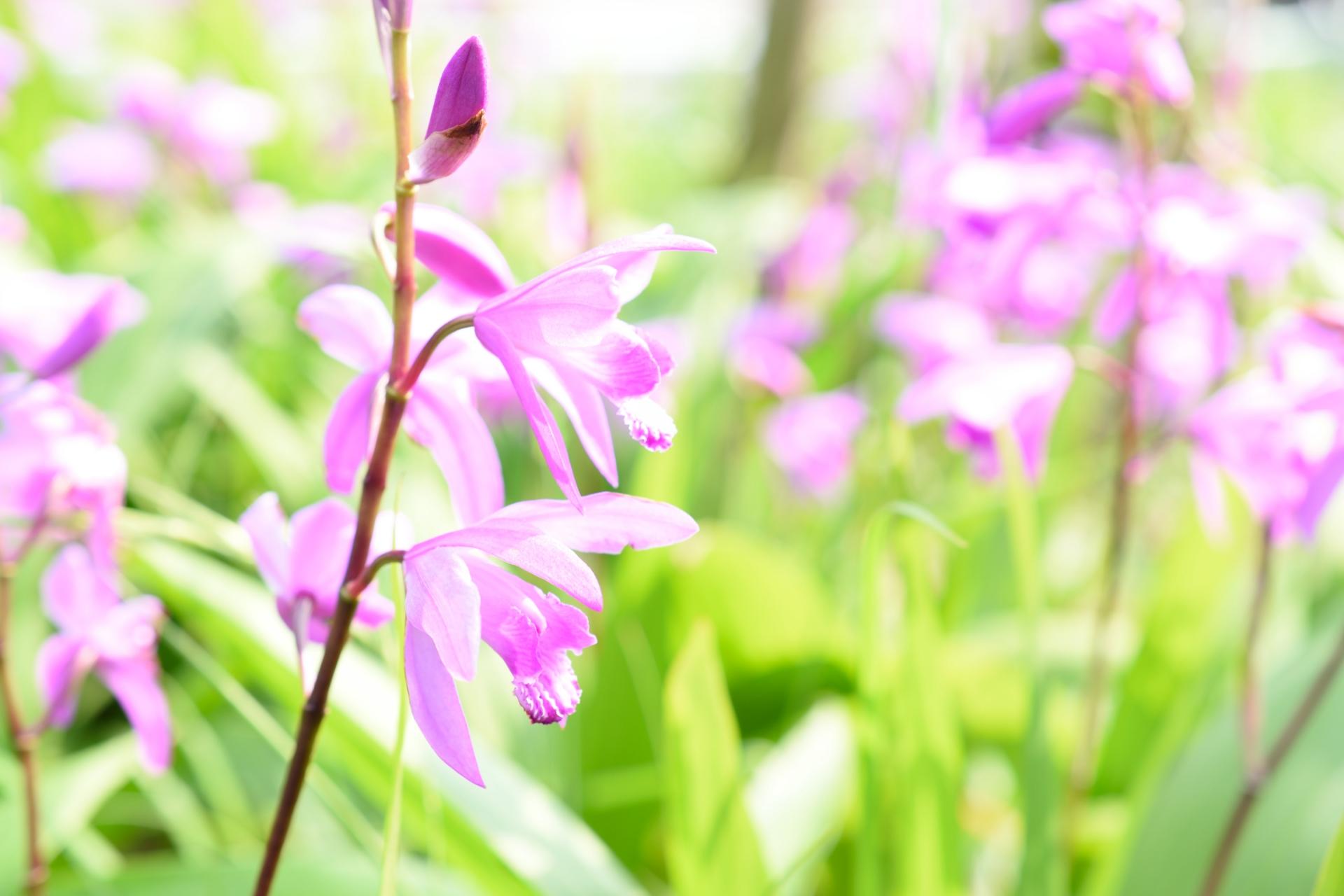 ガーデン用品屋さんの花図鑑 シラン