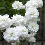 ガーデン用品屋さんの花図鑑 シレネ