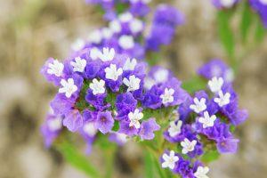 ガーデン用品屋さんの花図鑑 スターチス