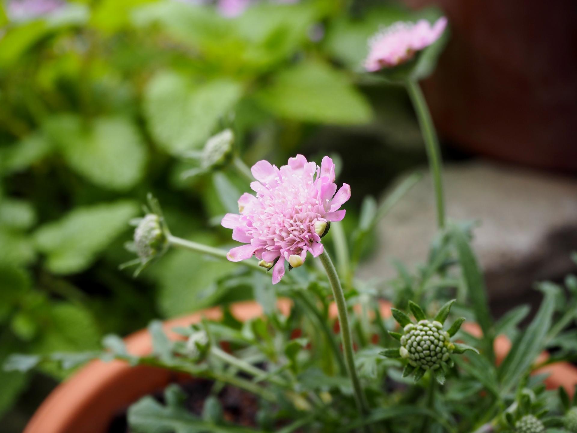 ガーデン用品屋さんの花図鑑 スカビオサ