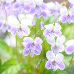ガーデン用品屋さんの花図鑑 スミレ