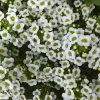 ガーデン用品屋さんの花図鑑 スイートアリッサム