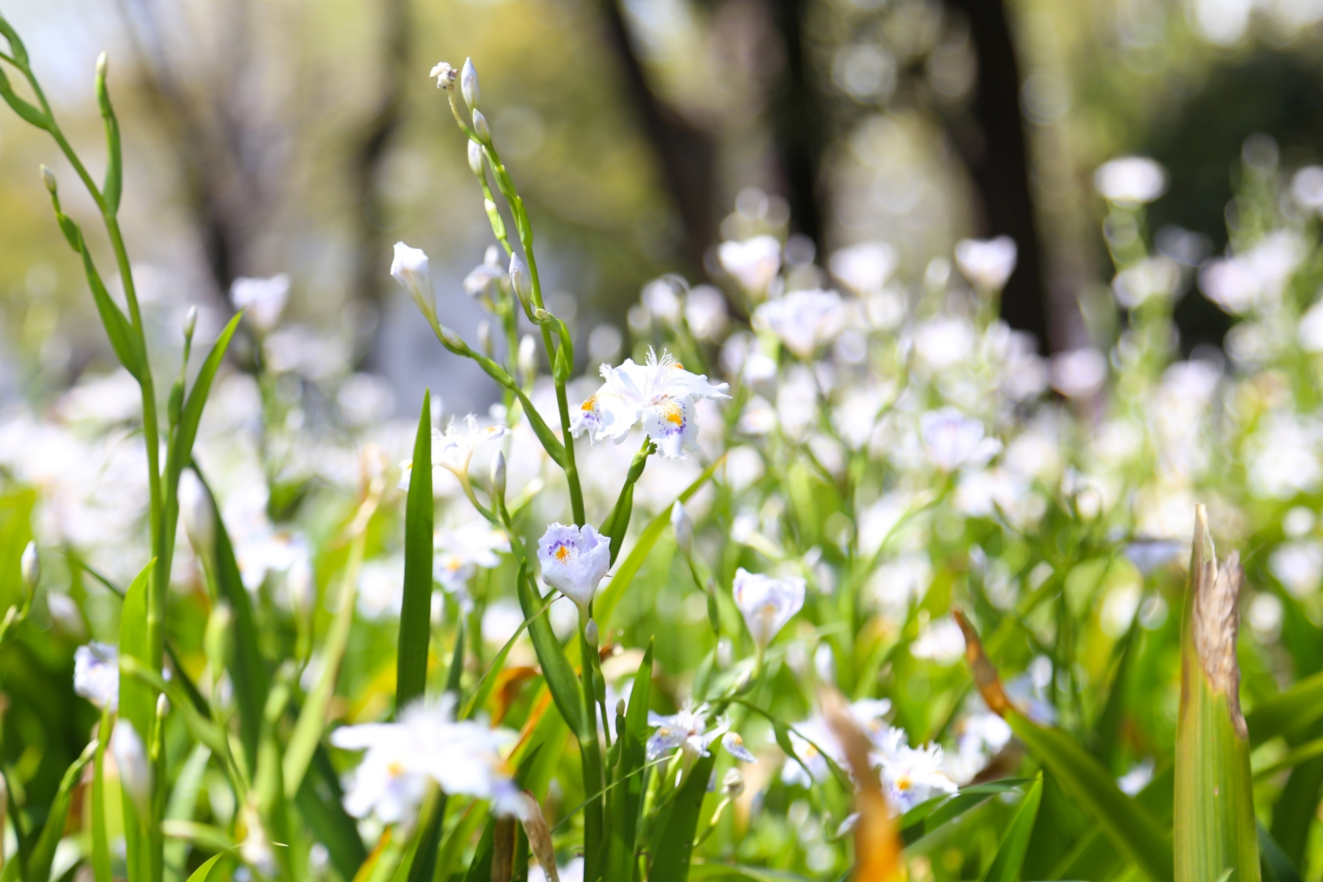 ガーデン用品屋さんの花図鑑 シャガ