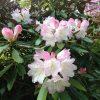 ガーデン用品屋さんの花図鑑 シャクナゲ