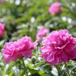ガーデン用品屋さんの花図鑑 シャクヤク