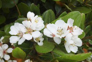 ガーデン用品屋さんの花図鑑 シャリンバイ