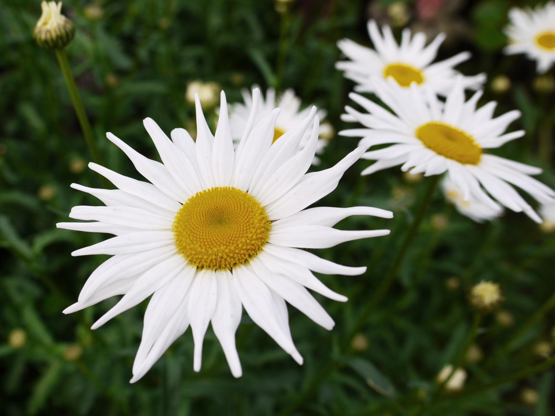 ガーデン用品屋さんの花図鑑 シャースターデイジー