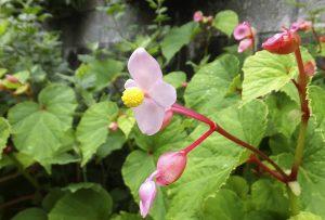 ガーデン用品屋さんの花図鑑 シュウカイドウ