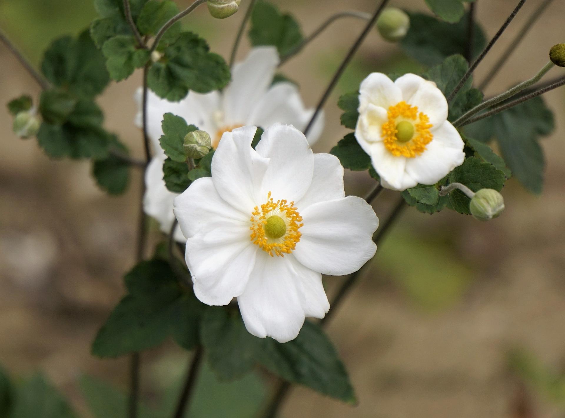 ガーデン用品屋さんの花図鑑 シュウメイギク