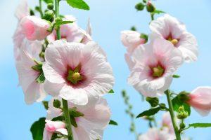 ガーデン用品屋さんの花図鑑 タチアオイ