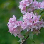 ガーデン用品屋さんの花図鑑 タニウツギ