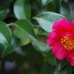 ガーデン用品屋さんの花図鑑 ツバキ